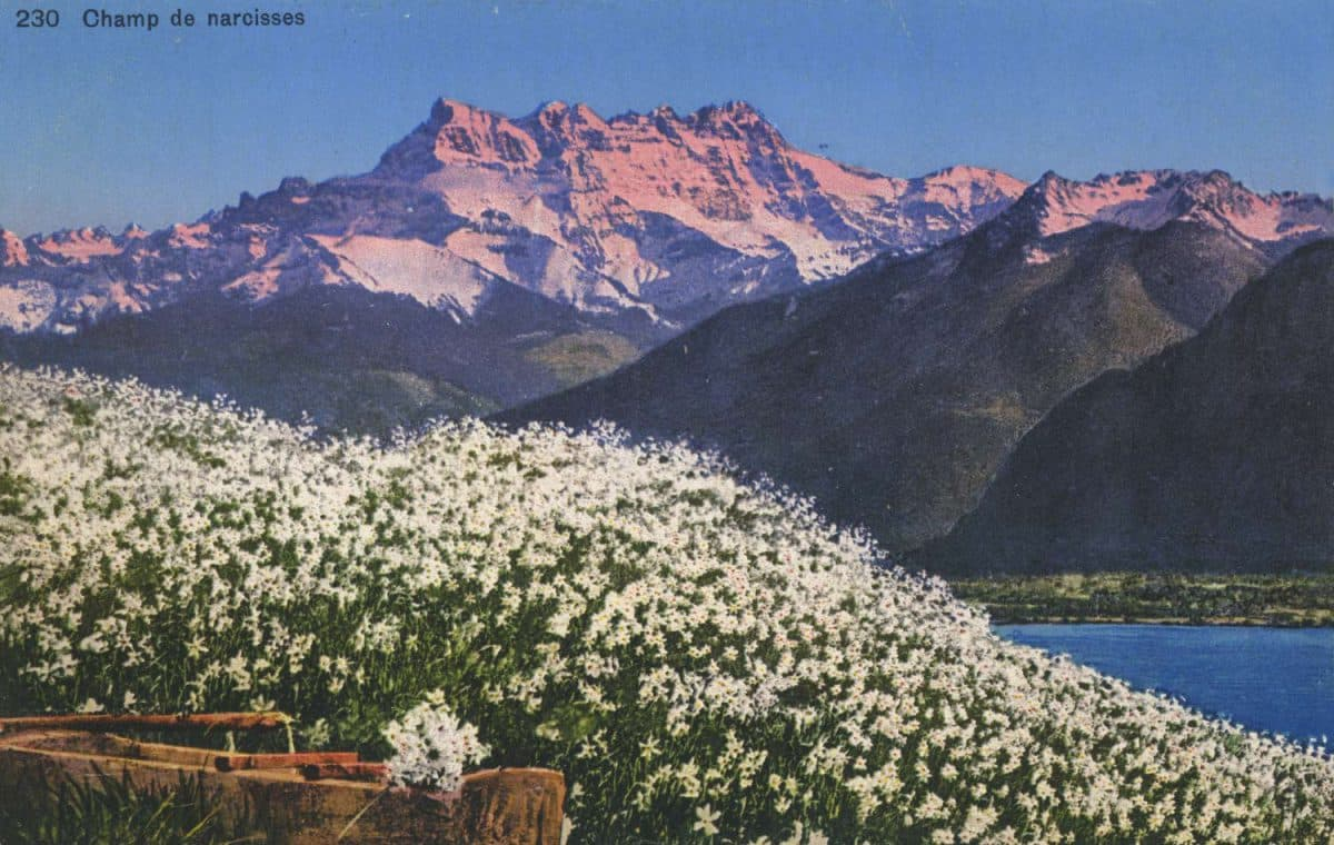 Carte postale, Champ de narcisses