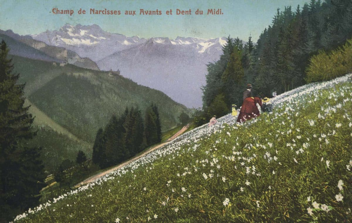 Champ de narcisses aux Avants et Dent du Midi © E. Rossier, Nyon, carte datée de 1909