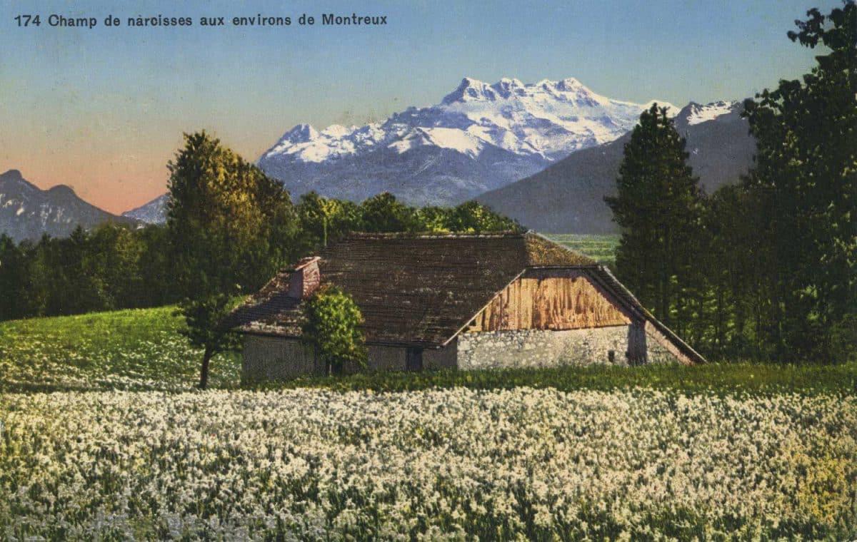 Champ de narcisses aux environs de Montreux © Phototypie Co., Neuchâtel, carte datée de 1925