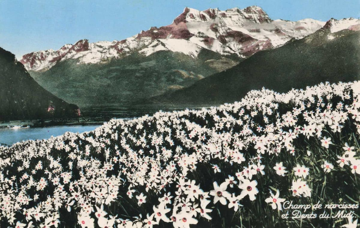 Champ de narcisses et Dents du Midi © Edition Perrochet, Lausanne, carte datée de 1960