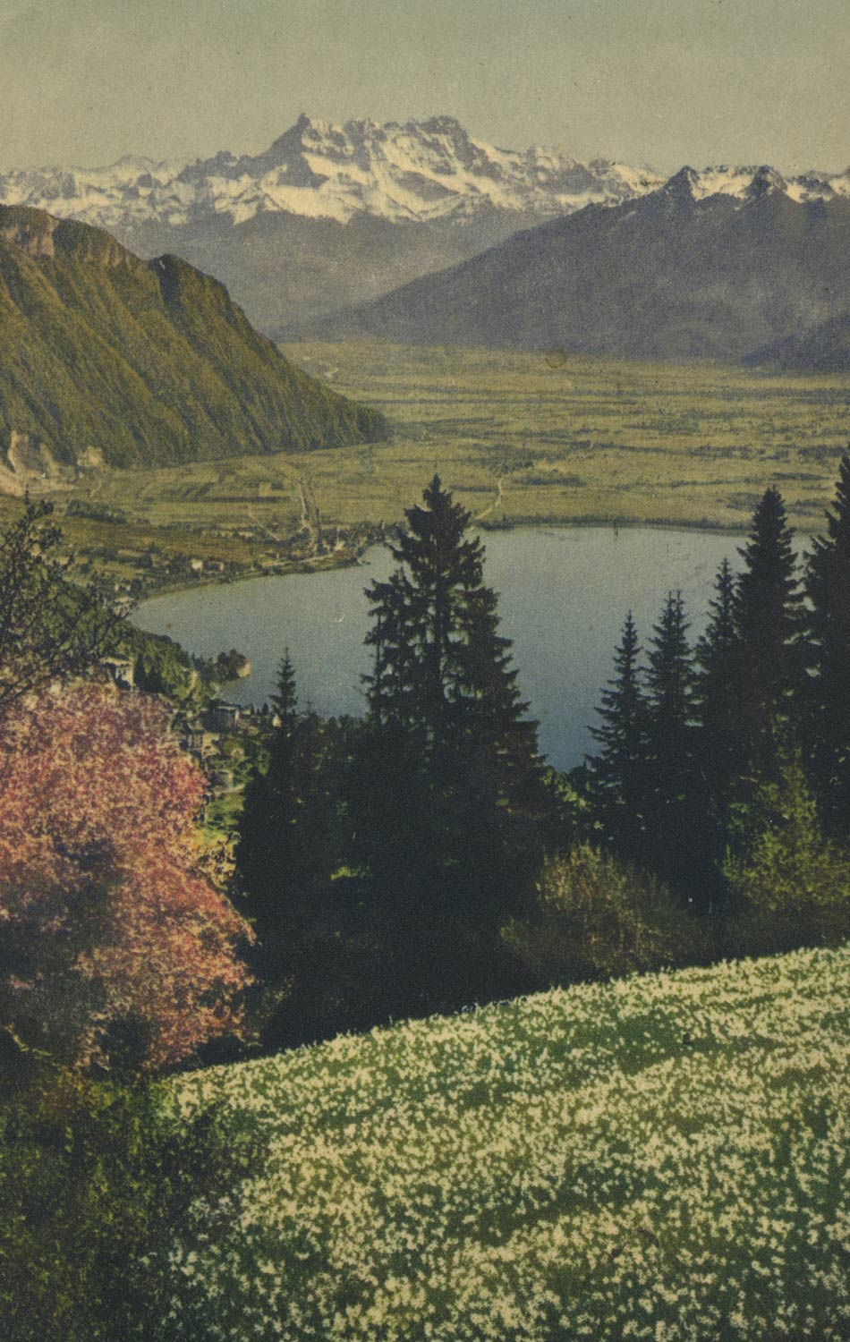 Champ de narcisses et les Dents du Midi © Photographie A. Kern, carte datée de 1947