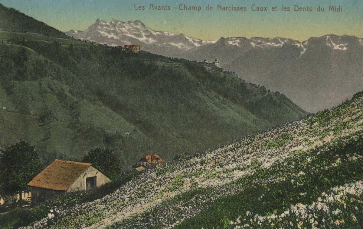 Les Avants - Champ de narcisses Caux et les Dents du Midi © Edit. Art. S.A. Schnegg, Lausanne, carte datée de 1916