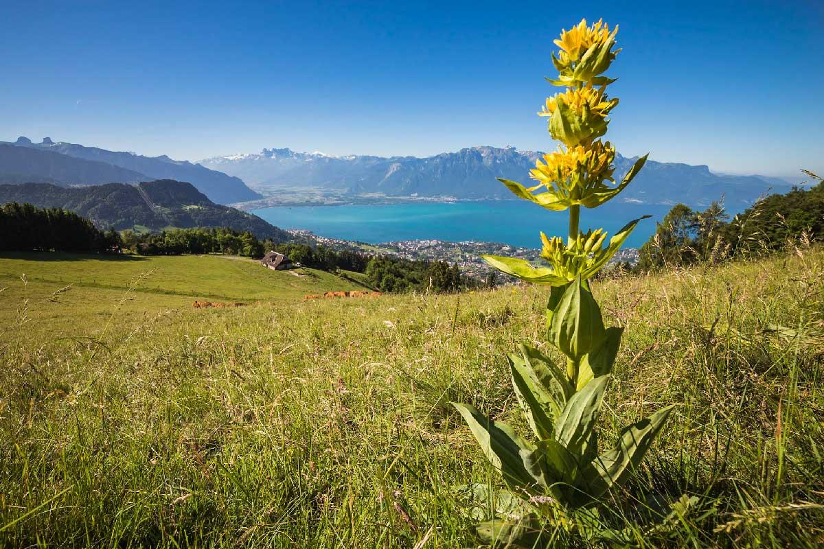 Juste en dessous du sommet des Pléïades, la gentiane jaune (Gentiana lutea) a remplacé les narcisses. Vue sur le Haut Lac et les Dents du Midi. © Fabrice Ducrest
