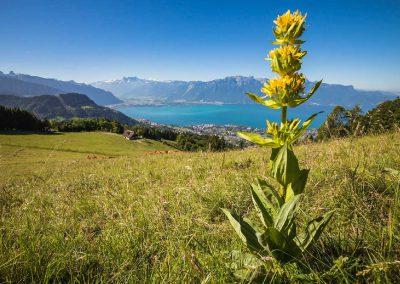La gentiane jaune aux Pleïades. Vue sur le lac Léman, Montreux et les Dents-du-Midi